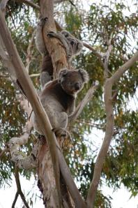 14.Koalas in the garden