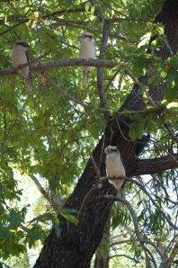 23. Kookaburras