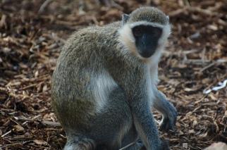 Actual monkey!